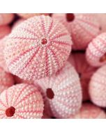 pink sea urchin shells