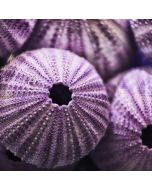 purple sea urchin shells