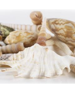 seashell assorted mix pencil finger starfish