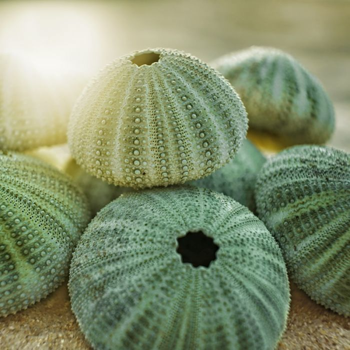 Here's a closer look at the wonderful texture and color of these pastel sea urchin shells