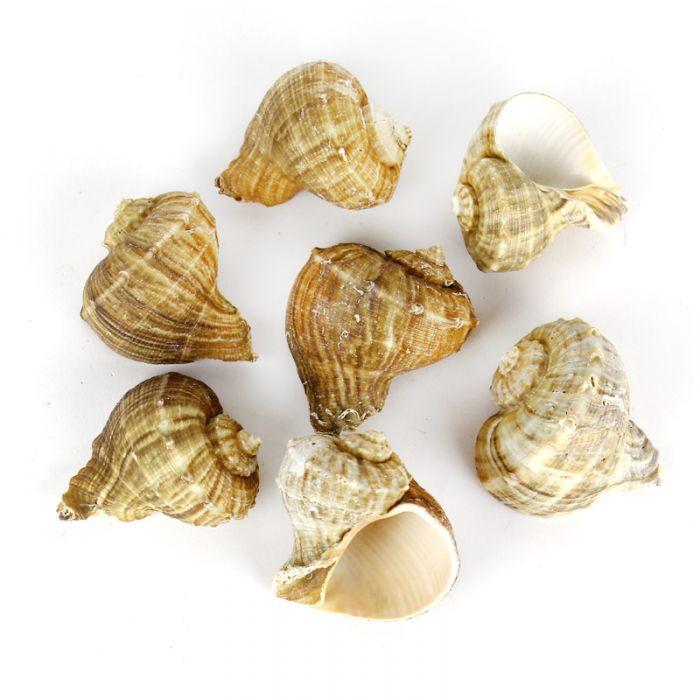 Rapana-Rapiformis-Sea-Shells-Vase-Filler-VFSS0102-03
