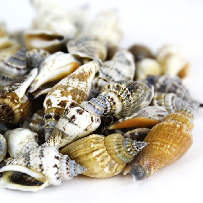 Vase Filler Conch Sea Shells 1