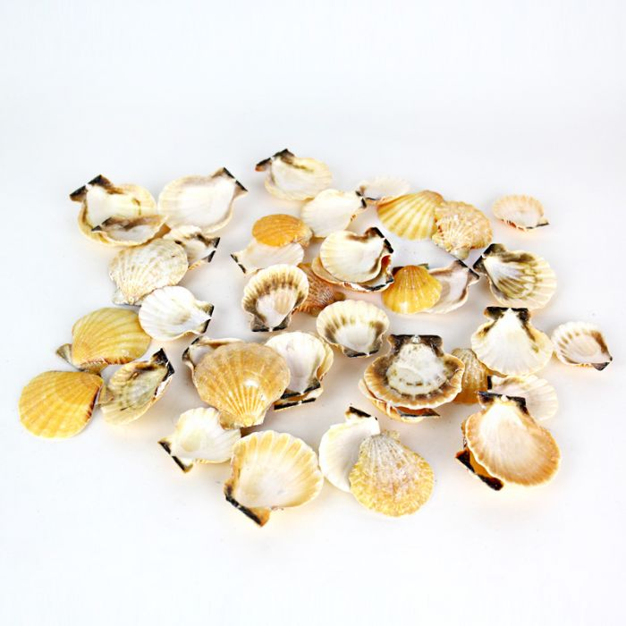 Fan Clam Orange Sea Shells