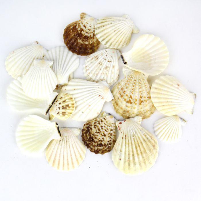 Vase Filler Fan Sea Shells 2