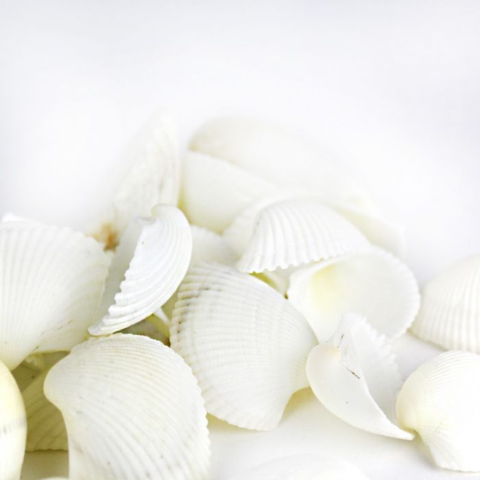 Cup Clam White Sea Shells 1